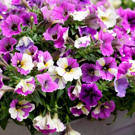 Blue a Fuse Petunia Source: Better Homes & Gardens