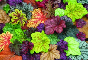 Brightly Coloured Coral Bells