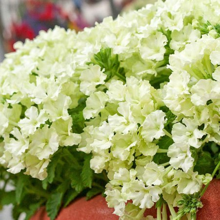 Lime Green Verbena