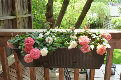 Mini Roses Balcony Box